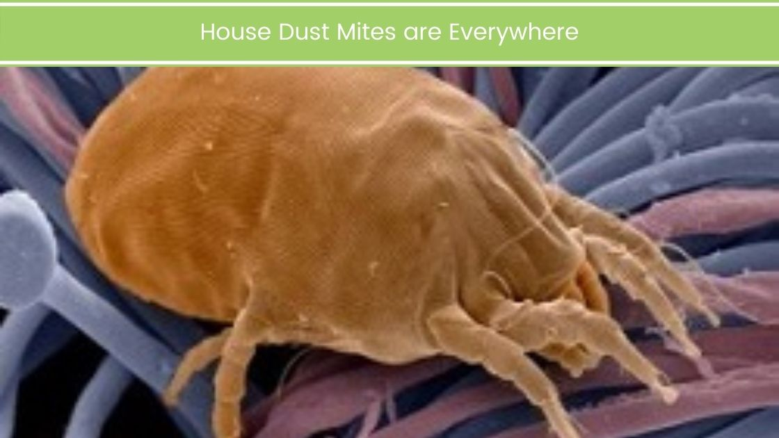 House Dust Mites are Everywhere