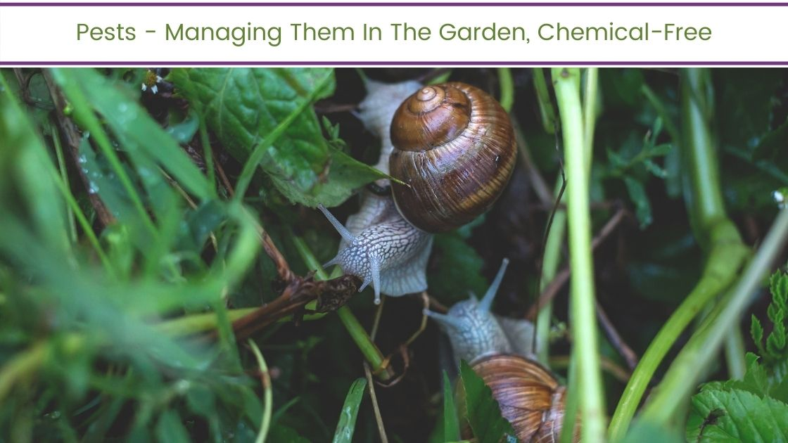 Pests – Managing Them In The Garden, Chemical-Free
