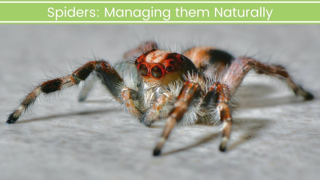 Spiders: Managing them Naturally